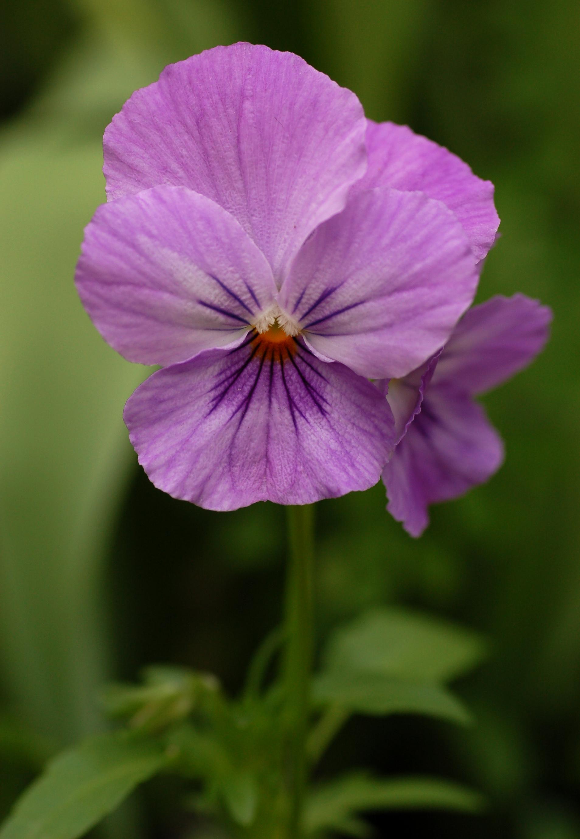Pansy_Viola_x_wittrockiana_Purple_Cultivar_Flower_1907px